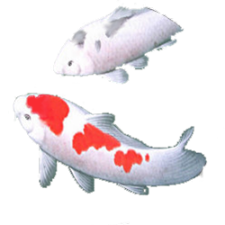 roundkoi6t.png