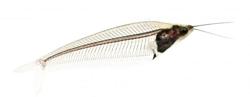 glasscatfisht.png
