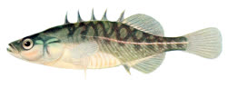 00-0-PD-Forbes_et_al-Fishes_of_Illinoist.jpg