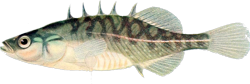 00-0-PD-Forbes_et_al-Fishes_of_Illinoist.png