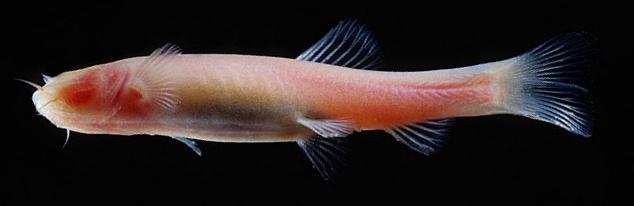 cave fish Phreatichthys andruzzii