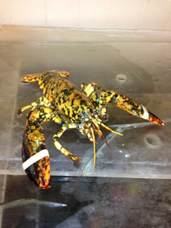 calico-lobstert.jpg