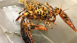 calico_lobster-2013-1t.jpg