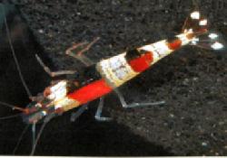 half_black_half_red_bee_shrimpt.jpg