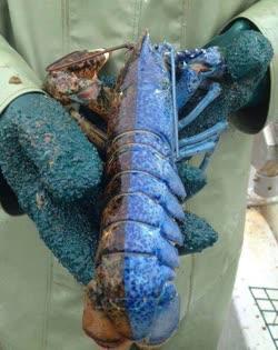 half_blue_lobstert.jpg