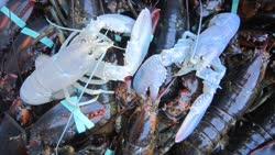 lobster2-1t.jpg