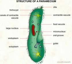 004Structureofaparameciumt.jpg