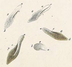 Muller_paramecium_aureliat.jpg