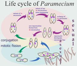 paramecium-life-cyclet.png