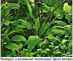 anubias-in-russia-2t.jpg