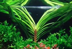 eichhornia-azurea1t.jpg